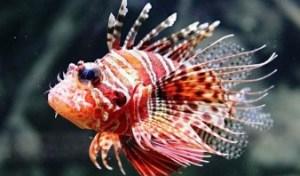 Si ves un pez león en Mochima, no lo toques