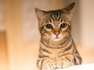 """Cómo un gato aprendió a """"comunicarse"""" con su dueña a través de la tecnología (VIDEOS)"""