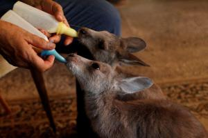 Hospital móvil para animales salvajes heridos recorre calles de Australia