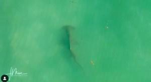 Un ENORME tiburón asustó a un hombre que nadaba tranquilamente en una playa de Florida (VIDEO)