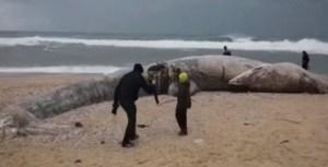 Apareció en Israel el cadáver de un rorcual, el segundo animal más grande del mundo