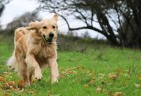 Los perros podrían estar detrás de la variante británica del coronavirus, según estudio