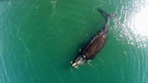 """¡Qué tierno! Momento en el que dos ballenas """"'se abrazan"""" nadando en el Atlántico (VIDEO)"""