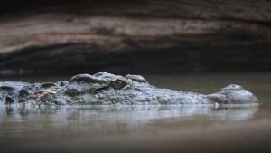Un pescador es sorprendido por un gran caimán que emerge del agua y lo persigue (VIDEO)