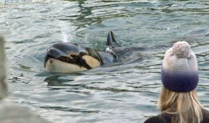 Murió en Nueva Zelanda orca bebé tras fallida búsqueda de su madre